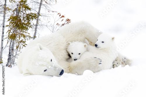 Polar bear mother (Ursus maritimus) with two cubs, Wapusk National Park, Manitob Fototapet