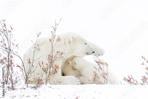 Wall Murals Polar bear Polar bear mother (Ursus maritimus) nursing and feeding two cubs, Wapusk National Park, Manitoba, Canada