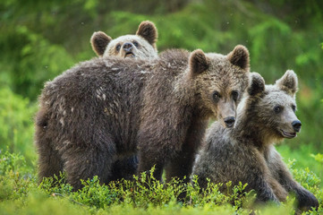 Panel Szklany Eko Cubs of Brown bear (Ursus Arctos Arctos) in the summer forest. Natural green Background