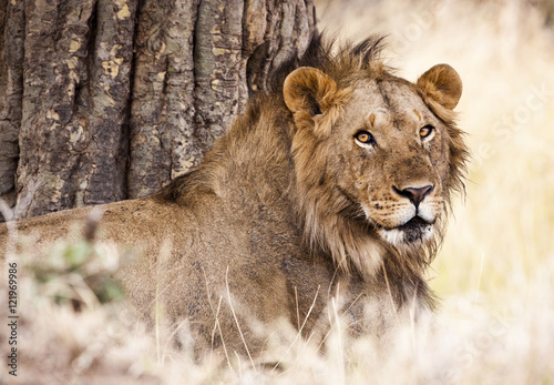 A male lion (Panthera leo) rests in Kenya