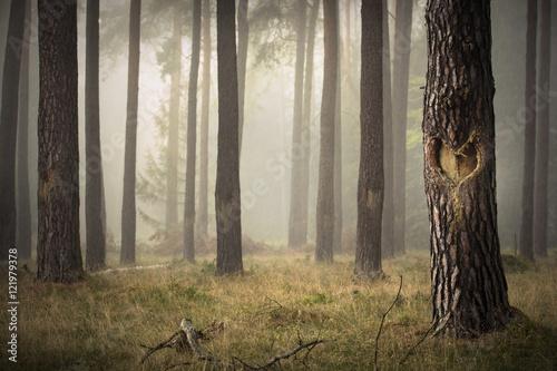 Kiefernwald im Nebel - Baumstamm mit eingeschnittenem Herz in der Rinde