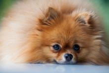 Sleep Cute Pomeranian Lies On A White Surface