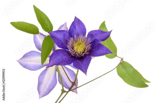 Spoed Foto op Canvas Iris purple clematis