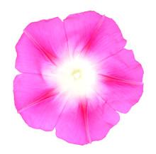 Glory Morning Flower