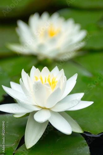Canvas Prints Water lilies 睡蓮