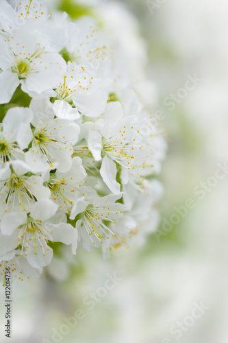 Fototapety, obrazy: blooming white cherry flowers