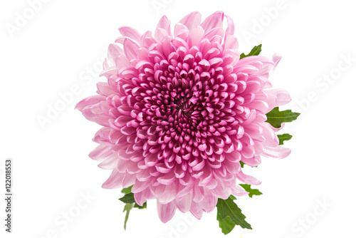 Photo chrysanthemum flower