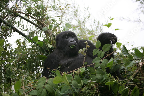 Photo  Wild Gorilla animal Rwanda Africa tropical Forest