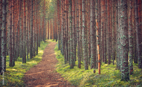Tuinposter Weg in bos Lahemaa national park forest in september. Pine tree woods in early morning with path going throuhg