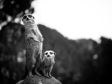 Two Meerkats On Watch Duty