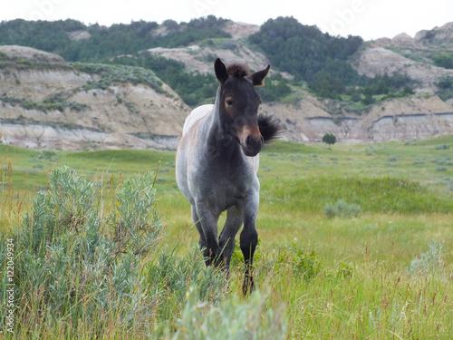 Foto  Mustang Foal