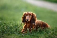 Dog Breed Dachshund