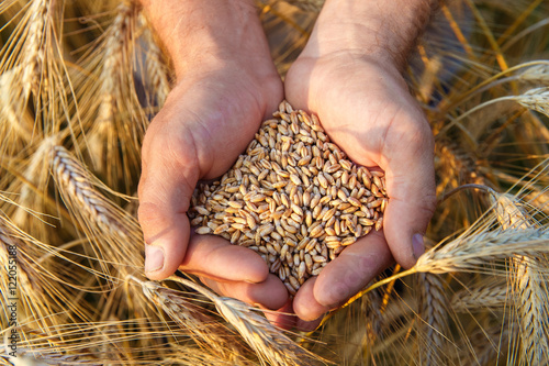 The hands of a farmer close-up holding a handful of wheat grains