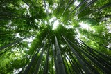 Fototapeta Las - Below View Of Bamboo Trees In Forest