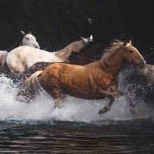 Wild Horses Running On Stream