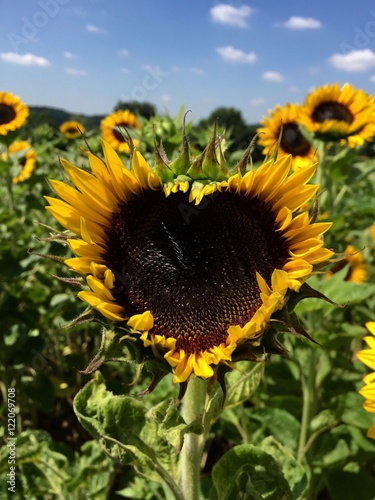 Close-Up Of Fresh Sunflower In Heart Shape Against Sky