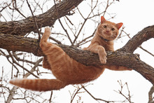 Cat In Distress - Orange Tabby...