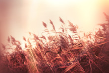 Dry Reed In Meadow - Field And Gloomy Autumn Day