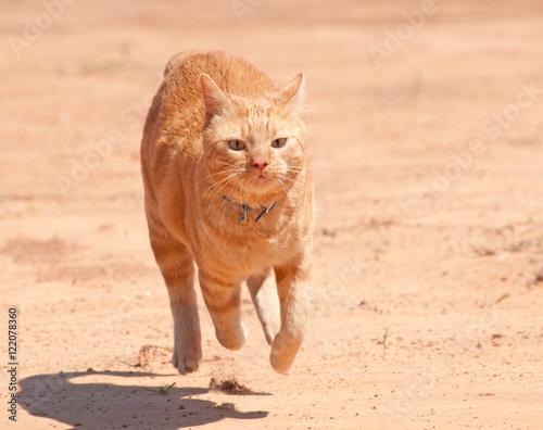 orange tabby cat running full speed across red sand buy this stock
