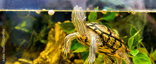 Poster Tortue Red-eared sliders in the terrarium