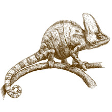Engraving Illustration Of Chameleon