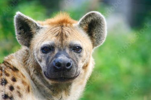 Spoed Foto op Canvas Hyena ハイエナ