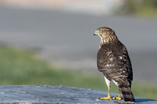 A Cooper's Hawk (Accipiter Cooperii) Perched On A Table In The Northeast, US