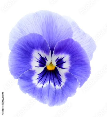 Fotografie, Obraz  purple pansy flower