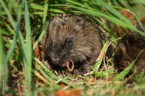 Fotografie, Obraz  Kleiner Baby Igel frisst im Garten unter Gras versteckt genüsslich einen Regenwurm