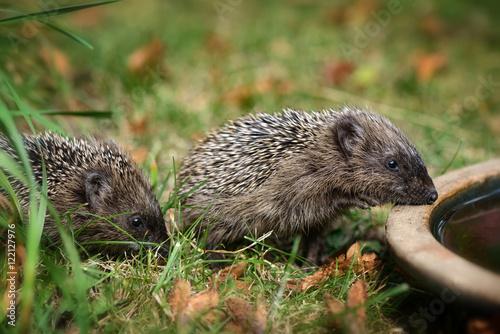 Zwei Kleine Baby Igel Wollen Aus Einer Wasserschale Im