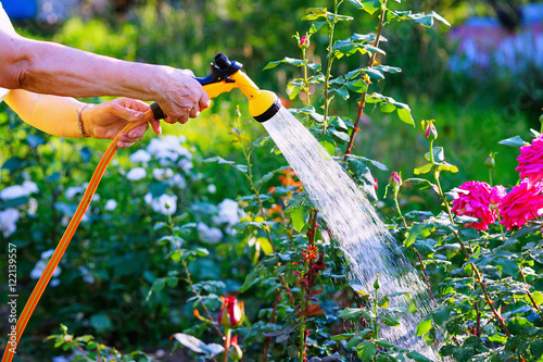 Poster Jardin Senior woman hand holding hose sprayer and watering rose flowerbed in garden