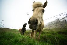 White Horse Eating Grass. Iceland