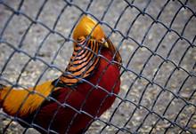 Superb Male Golden Pheasant Wi...