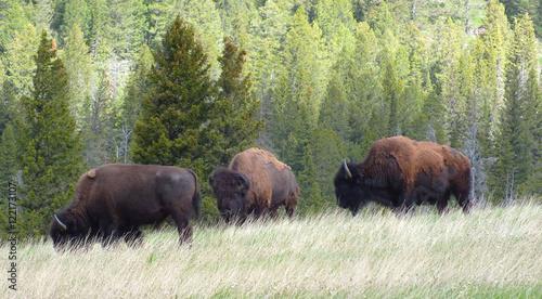 Foto op Canvas Bison American Bison