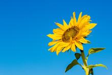 Sunflower Flower Against The Blue Sky Closeup