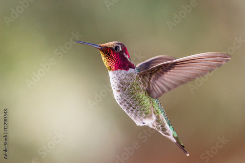 Photo Anna's Hummingbird