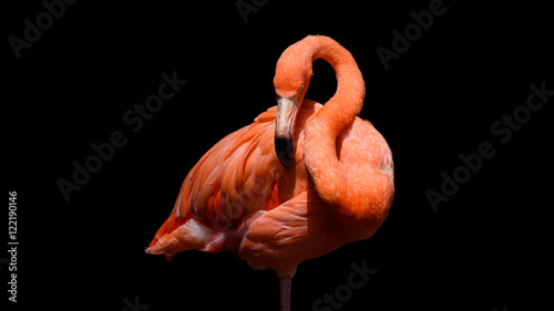 Tuinposter Flamingo Flamingo with black background