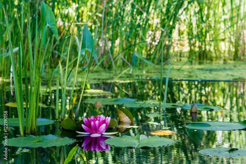 Fotografie, Obraz  Lily pond