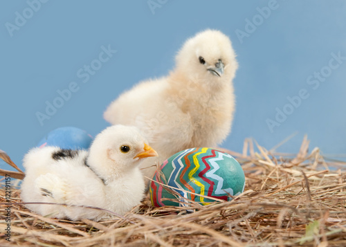 Fotografie, Obraz  Two easter chicks with colorful painted easter egg, on blue background