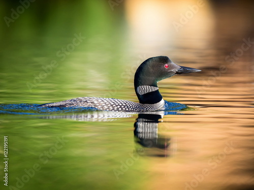 Common Loon female and male. This shot was taken on lac Creux northern Quebec Canada. Here you can see the incredible feather pattern these birds possess.