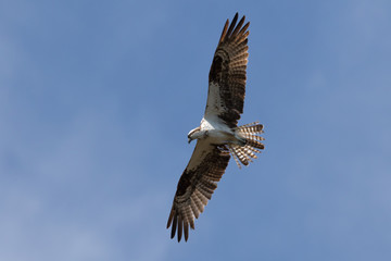Osprey Flying, J.N. ''Ding'' Darling National Wildlife Refuge, S