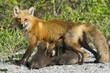 Female red fox  nursing cubs