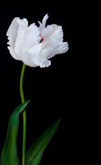 Panel Szklany Tulipany white tulip