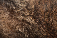 Brown Bear (Ursus Arctos) Fur ...