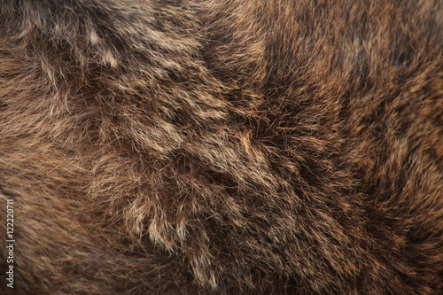 Brown bear (Ursus arctos) fur texture.
