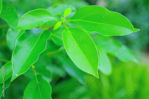 Fényképezés クスノキの新緑