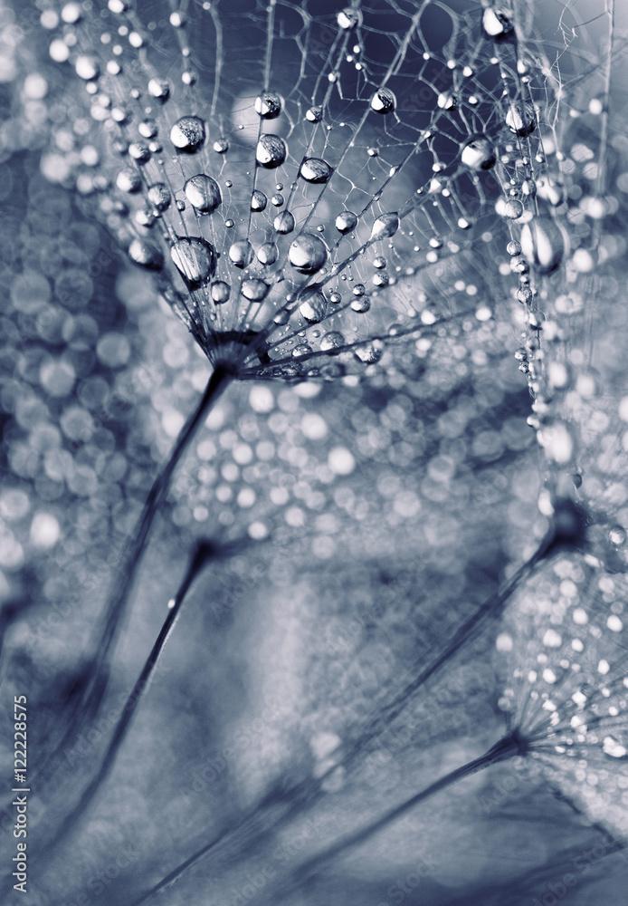 Fototapety, obrazy: Nasiona mniszka lekarskiego z kroplami wody