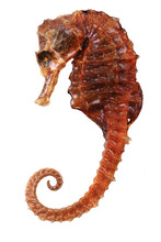 Seahorse Fish Dried
