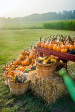 Sunlight On The Pumpkins