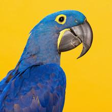 Blue Hyacinth Macaw Portrait O...